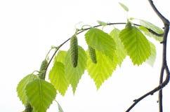 Rama del abedul con las hojas en un fondo blanco Fotos de archivo libres de regalías