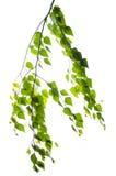 Rama del abedul con las hojas en un fondo blanco Fotos de archivo