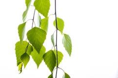 Rama del abedul con las hojas en un fondo blanco Imagenes de archivo