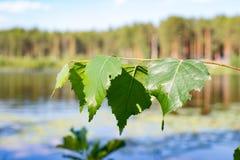 Rama del abedul con las hojas en un fondo del lago Fotografía de archivo