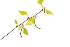Rama del abedul con las hojas jovenes Fotos de archivo