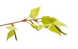 Rama del abedul con las hojas jovenes Imagen de archivo libre de regalías