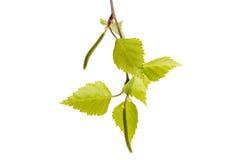 Rama del abedul con las hojas jovenes Fotografía de archivo