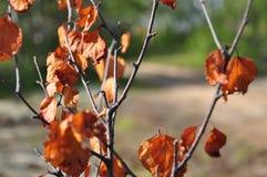 Rama del abedul con las hojas marrones secas en el fondo con verde Oto?o temprano imagenes de archivo
