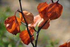 Rama del abedul con las hojas marrones secas en el fondo con verde Oto?o temprano imagen de archivo
