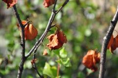 Rama del abedul con las hojas marrones secas en el fondo con verde Oto?o temprano fotografía de archivo
