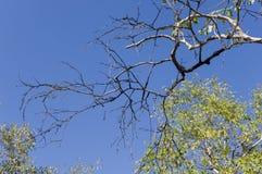 Rama del abedul con las hojas verdes y amarillas en el fondo con el cielo azul Oto?o temprano foto de archivo libre de regalías