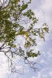 Rama del abedul con las hojas verdes y amarillas en el fondo con el cielo azul Oto?o temprano imagen de archivo libre de regalías