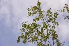 Rama del abedul con las hojas verdes y amarillas en el fondo con el cielo azul Oto?o temprano imagenes de archivo