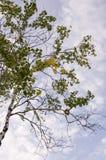Rama del abedul con las hojas verdes y amarillas en el fondo con el cielo azul Oto?o temprano fotografía de archivo