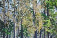Rama del abedul con los brotes en un fondo de árboles Imagen de archivo libre de regalías
