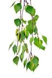 Rama del abedul con los brotes y las hojas, aislada sin la sombra Fotografía de archivo