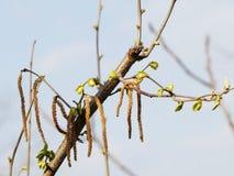 Rama del abedul de la primavera Foto de archivo