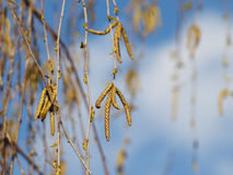 Rama del abedul de la primavera Imagenes de archivo