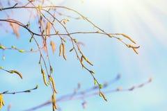 Rama del abedul de la primavera con amentos Fotografía de archivo libre de regalías
