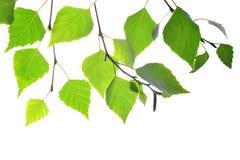 Rama del abedul de la primavera con las hojas verdes Imagen de archivo libre de regalías