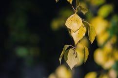 rama del abedul que cuelga las hojas de oro Foto de archivo libre de regalías