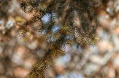 Rama del abeto Fotografía de archivo