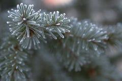Rama del abeto azul azul, picea azul verde de Colorado, pungens de la Picea cubiertos con Bekraund del Año Nuevo de la escarcha L Imagen de archivo libre de regalías