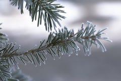Rama del abeto azul azul, picea azul verde de Colorado, pungens de la Picea cubiertos con Bekraund del Año Nuevo de la escarcha L Fotografía de archivo