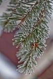Rama del abeto azul azul, verde, blanco, picea azul de Colorado, pungens de la Picea cubiertos con Bekraund del Año Nuevo de la e Fotografía de archivo libre de regalías