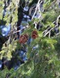 Rama del abeto con los conos Foto de archivo libre de regalías