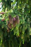 Rama del abeto con los conos y los nuevos brotes Imagen de archivo libre de regalías