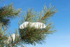 Rama del abeto con nieve Fotografía de archivo