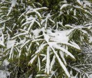 Rama del abeto debajo de la nieve y de la pequeña nieve que cae Foto de archivo libre de regalías