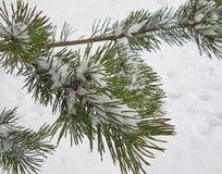 Rama del abeto debajo de la nieve y de la pequeña nieve que cae Foto de archivo