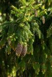 Rama del abeto en el bosque de la primavera Imagen de archivo