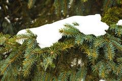 Rama del abeto en la nieve aislada en el fondo blanco imagen de archivo