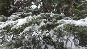 Rama del abeto del invierno con escarcha y nevadas almacen de metraje de vídeo