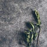 Rama del adelfa con las hojas verdes fotografía de archivo