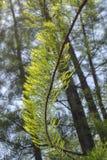 Rama del aguja-pino del pino Foto de archivo libre de regalías