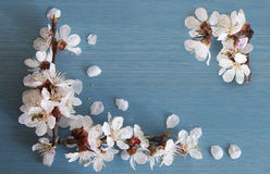 Rama del albaricoque con las flores Fotografía de archivo libre de regalías