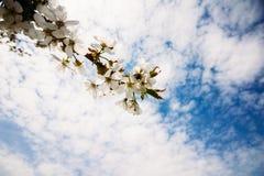 Rama del albaricoque con las flores florecientes Imágenes de archivo libres de regalías
