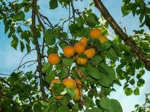 Rama del albaricoque con las frutas maduras Imagen de archivo