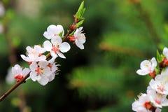 Rama del albaricoque floreciente Fotos de archivo libres de regalías