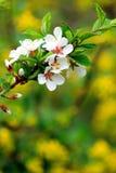 Rama del albaricoque floreciente Foto de archivo