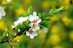 Rama del albaricoque floreciente Imagen de archivo libre de regalías