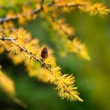 Rama del alerce con el cono en color de oro del otoño con el fondo verde Fotos de archivo libres de regalías