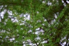 Rama del alerce con las hojas frescas como fondo Fotografía de archivo