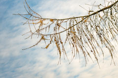 Rama del alerce con los conos contra un cielo nublado Fotos de archivo libres de regalías
