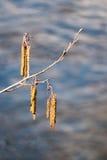 Rama del aliso con la inflorescencia masculina y los conos maduros Fotos de archivo