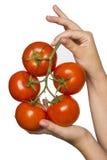 Rama del anuncio con los tomates Foto de archivo libre de regalías
