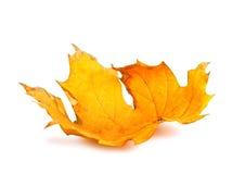 Rama del arce del otoño con las hojas aisladas Foto de archivo