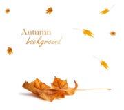 Rama del arce del otoño con las hojas aisladas en fondo Fotos de archivo libres de regalías