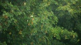 Rama del arce que se sacude en viento Imagen de archivo libre de regalías