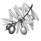 Rama del bosquejo del olivo con las frutas fotografía de archivo libre de regalías